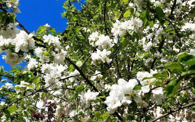 Kevätjuhla ja ylioppilaaksi julistaminen
